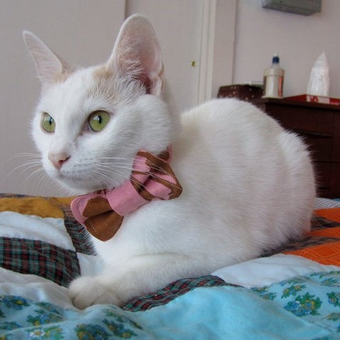 white cat with pink bow tie