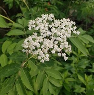 black elderberry in bloom