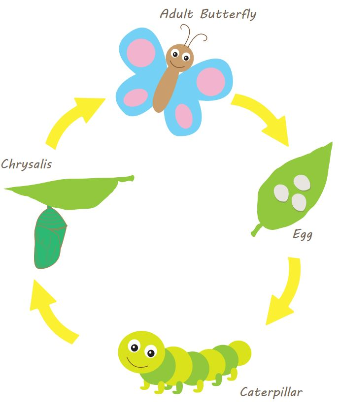 drawing of lfe cycle of a butterfly