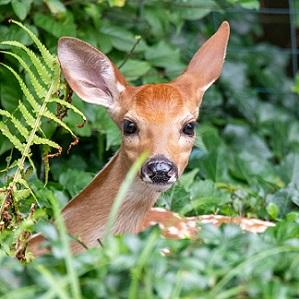 Deer peering around bushes