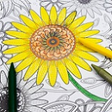 a coloring page of sunflowers that is partially colored